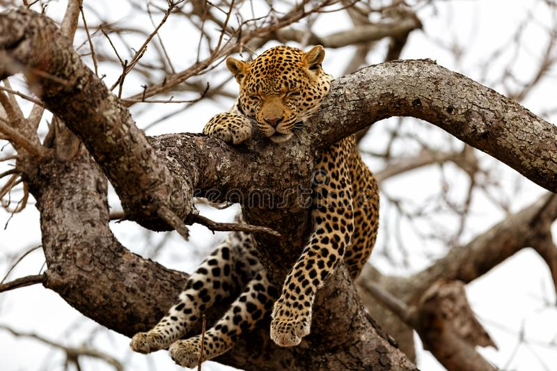 Leopardschlafen stockfotografie