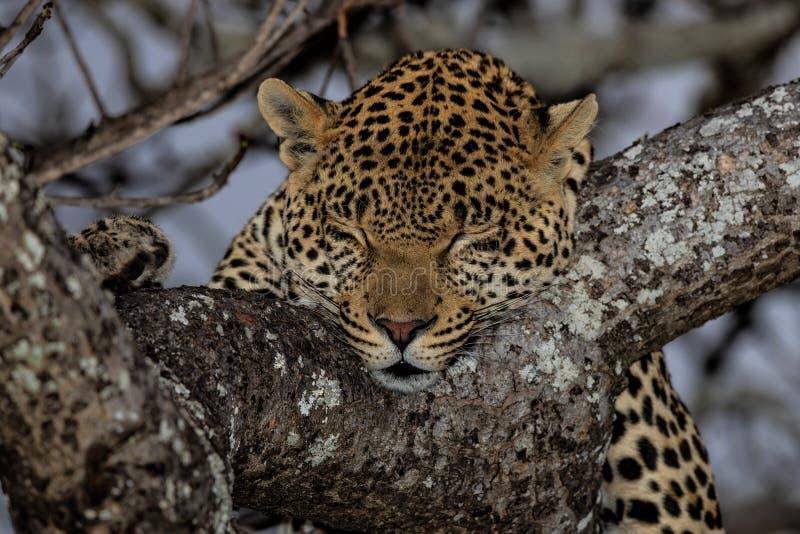 Leopardschlafen lizenzfreie stockbilder
