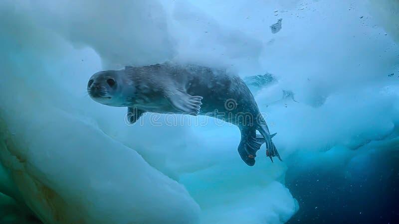 LeopardskyddsremsaHydrurga leptonyx, antarktisk halvö royaltyfri bild