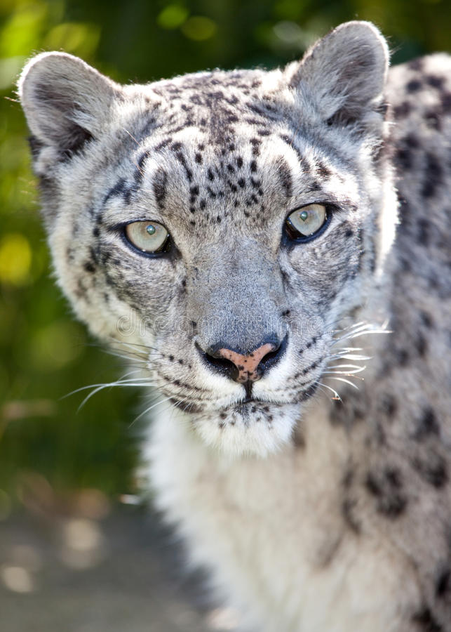 leopardståendesnow royaltyfria bilder
