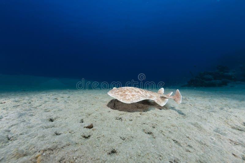 Leopardtorpedostrahl (Torpedo Panthera) im Roten Meer. lizenzfreies stockfoto