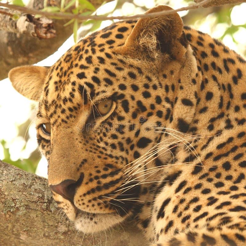 leopardtree royaltyfri fotografi