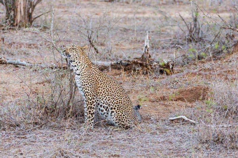 Leopardverkratzen stockfoto