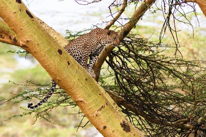 Leopardwarteopfer hinterhalt auf Baum lizenzfreies stockbild