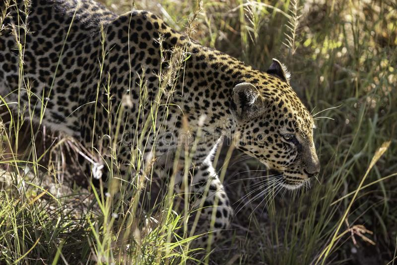 A leoprad Hunting in the Maasai Mara Kenya Africa royalty free stock photography