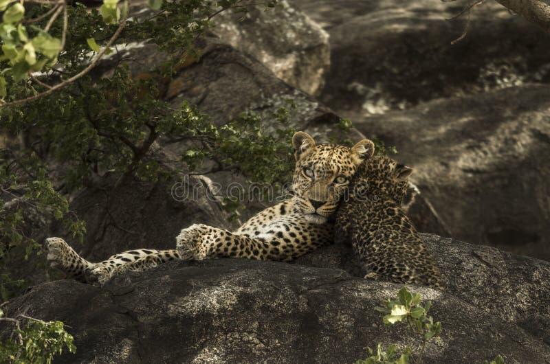 Leoprad und ihre Jungen, die auf Felsen, Serengeti, Tansania stillstehen lizenzfreie stockfotos