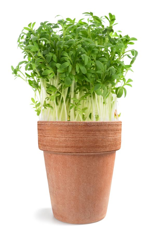 Lepidium sativum del crescione immagine stock