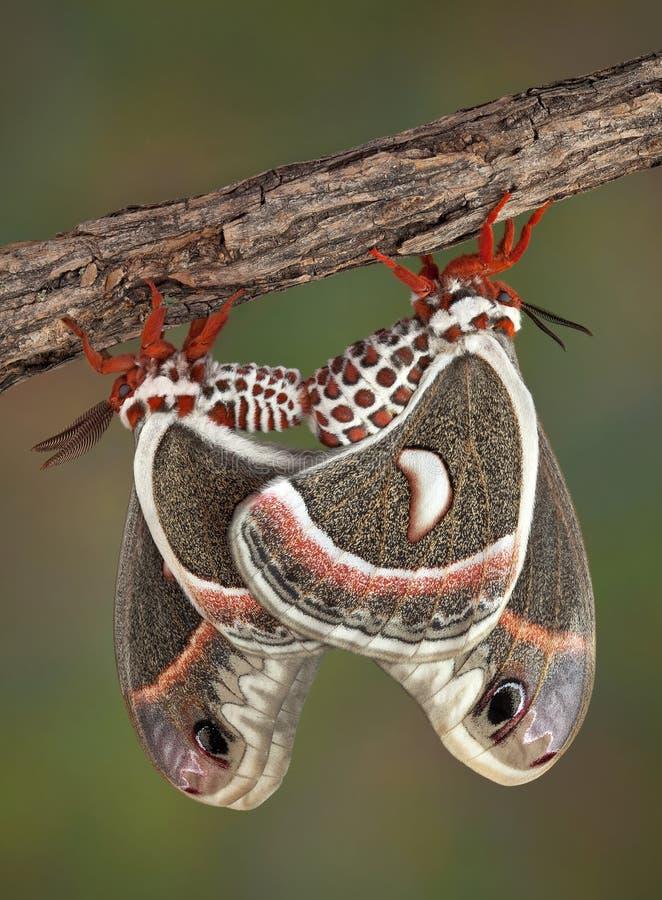 Lepidotteri di Cecropia accoppiamento fotografie stock libere da diritti