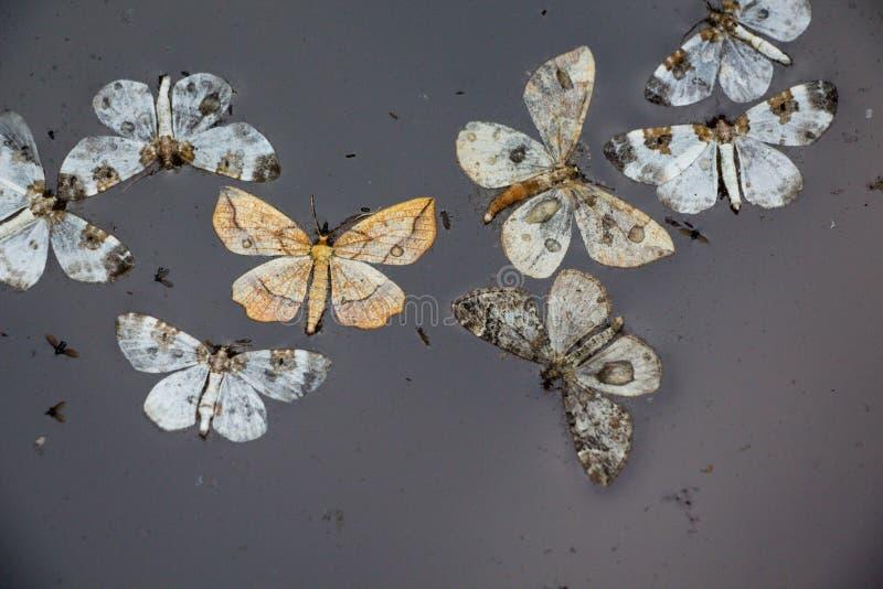 Lepidotteri nell'acqua fotografia stock