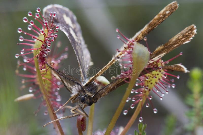 Lepidottero bloccato da Sundew fotografie stock libere da diritti