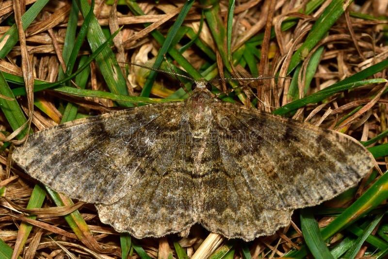 Lepidottero chiazzato di bellezza (repandata di Alcis) immagine stock