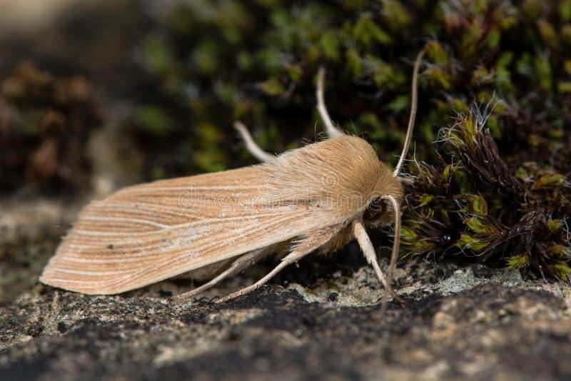 Lepidottero comune del rivestimento (pallens di Mythimna) fotografia stock