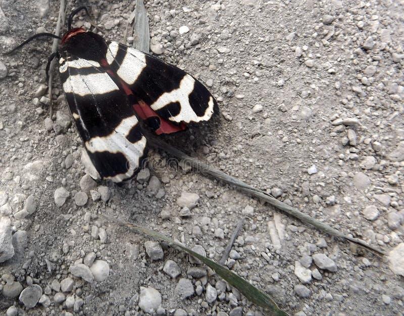 Lepidottero dalla Crimea fotografie stock