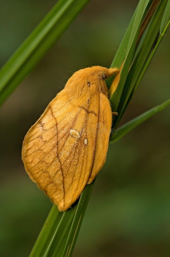 Lepidottero del bevitore, Rietvink, potatoria di Euthrix fotografia stock