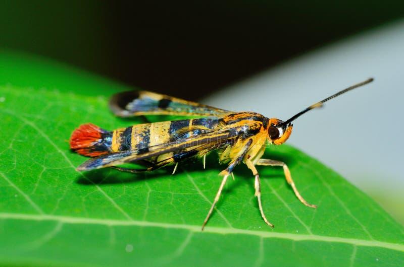 Lepidottero del mimo della vespa di Clearwing fotografia stock libera da diritti