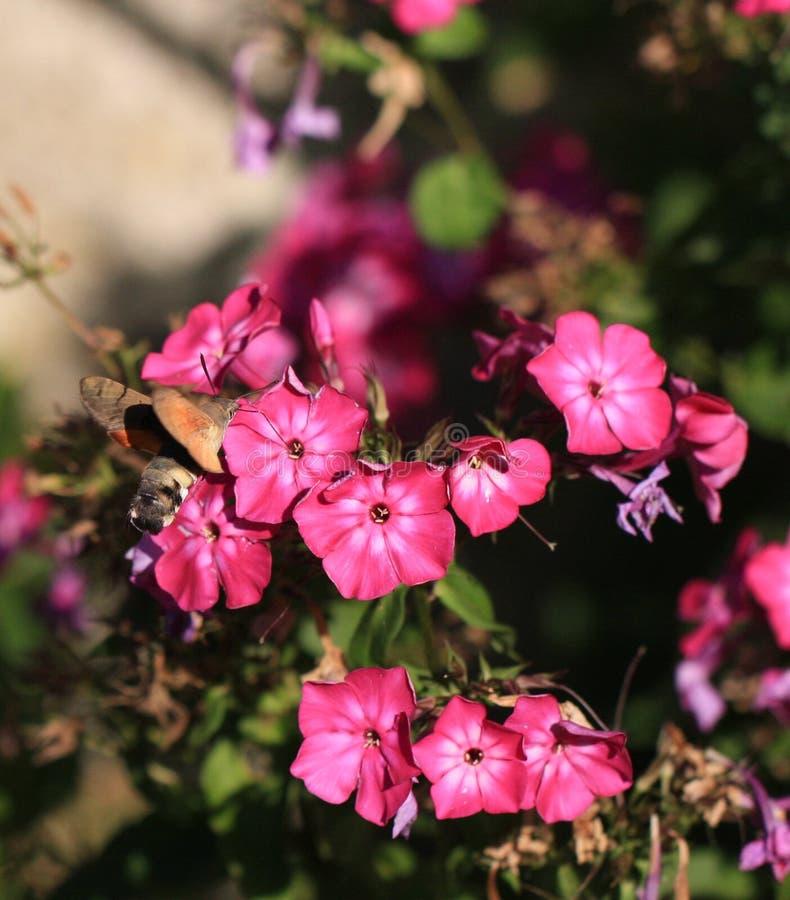 Lepidottero dell'uccello di ronzio fotografie stock