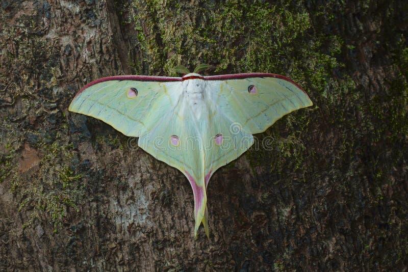 Lepidottero della luna o lunare dal parco nazionale di Kanger Ghati immagine stock