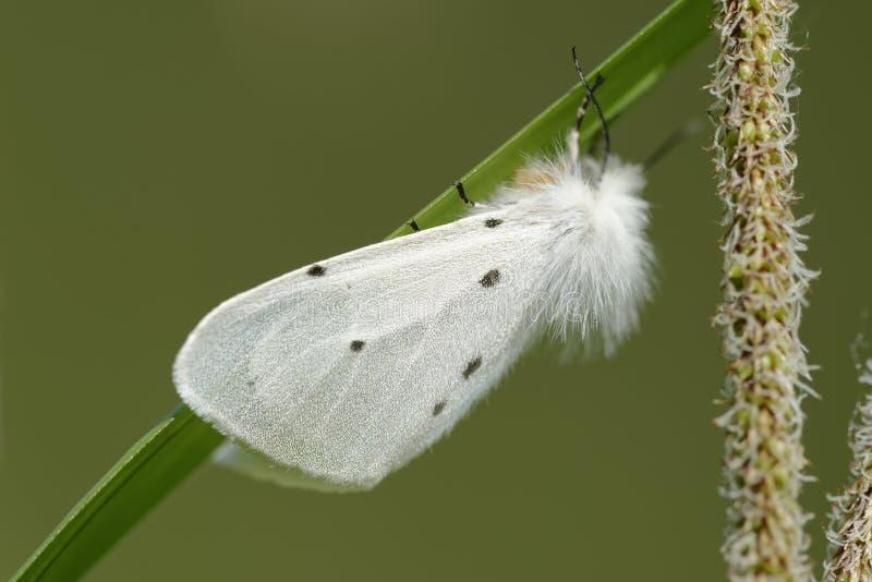 Lepidottero della mussola fotografia stock