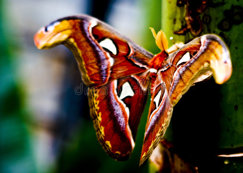 Lepidottero di atlante immagine stock