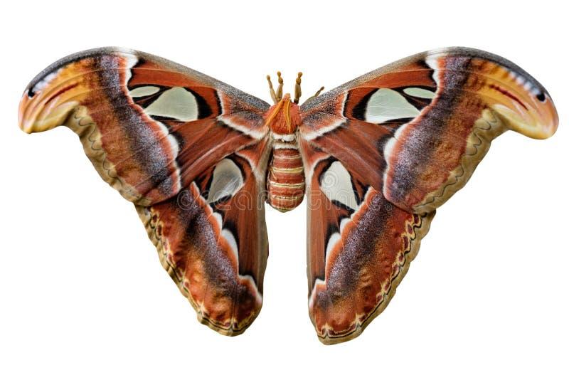 Lepidottero di atlante di Attacus immagini stock