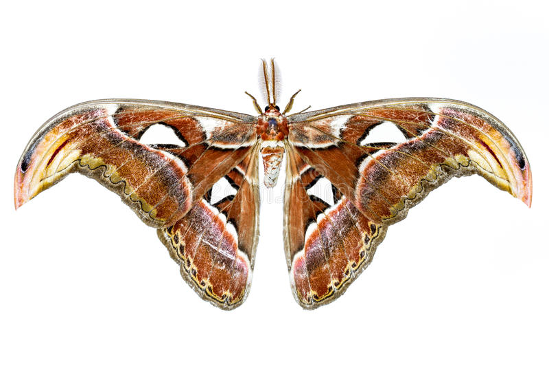 Lepidottero di atlante di Attacus fotografia stock libera da diritti