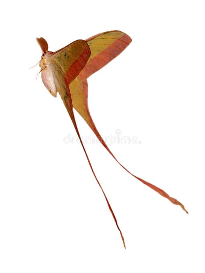 Lepidottero di baco da seta dentellare della coda lunga fotografia stock libera da diritti