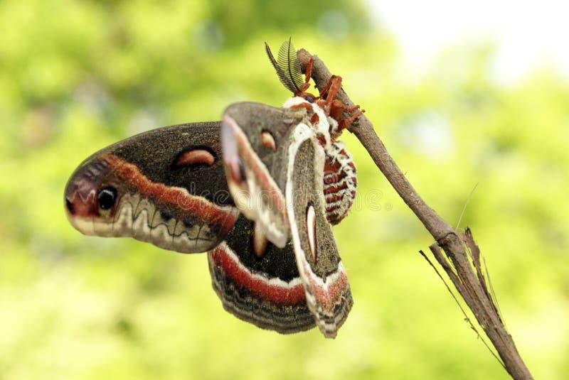 Lepidottero di Cecropia fotografia stock libera da diritti