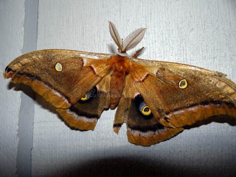 Lepidottero di cecropia immagini stock libere da diritti