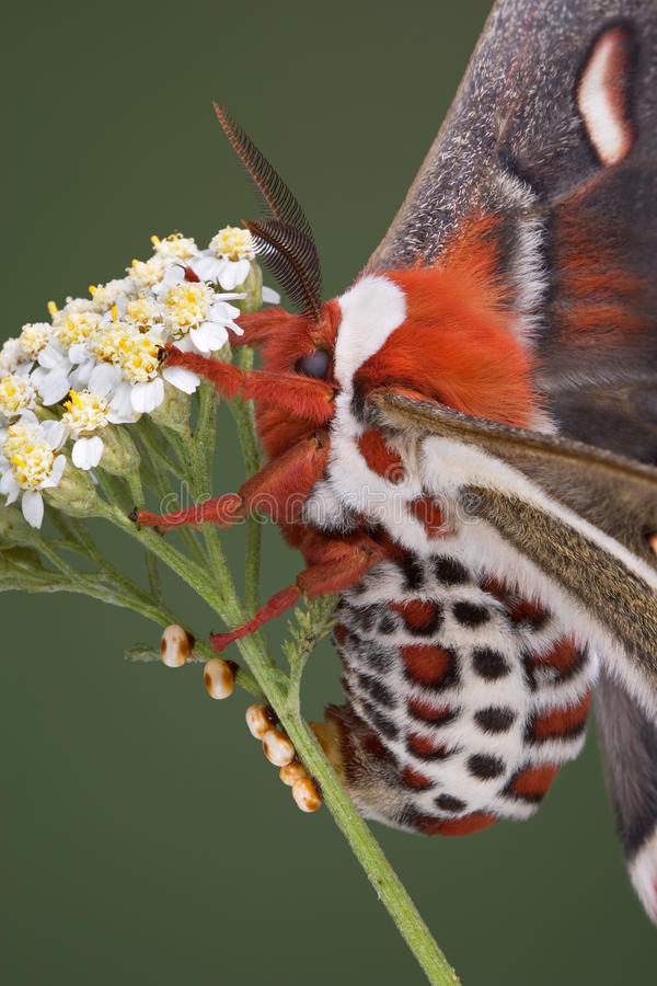 Lepidottero di Cecropia che fa le uova immagini stock