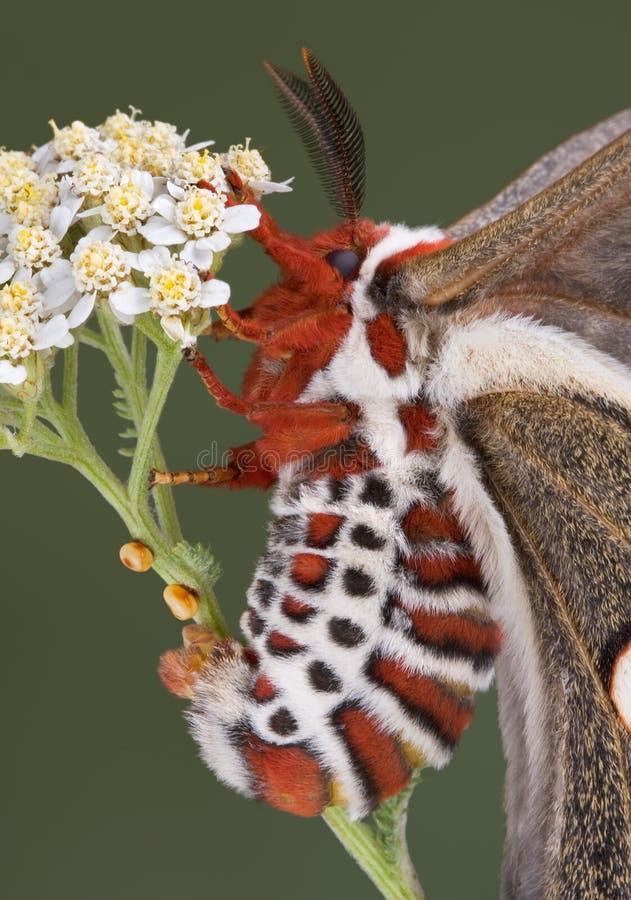 Lepidottero di cecropia di stenditura dell'uovo fotografie stock