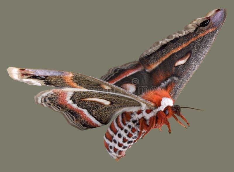 Lepidottero di cecropia di volo fotografia stock libera da diritti