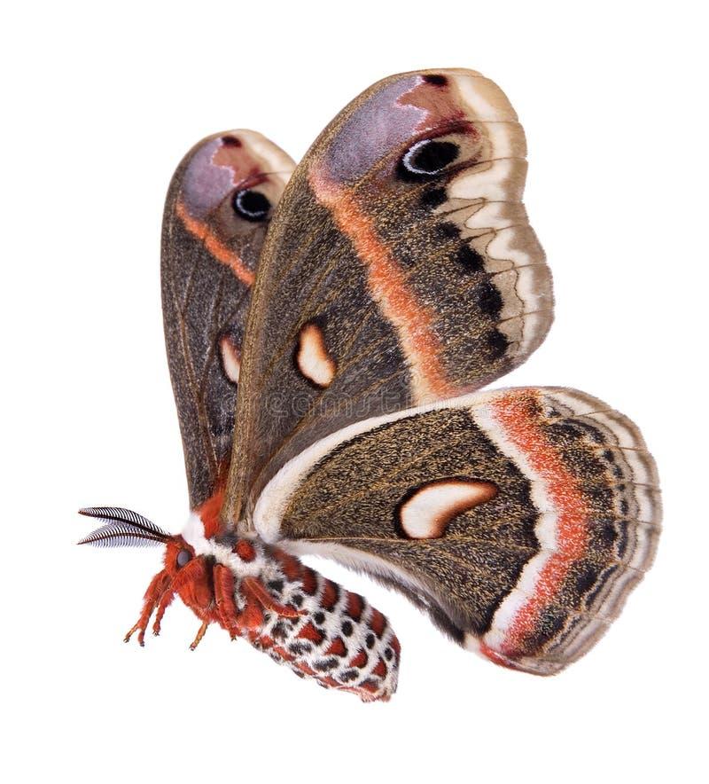 Lepidottero di Cecropia di volo isolato su bianco fotografia stock libera da diritti