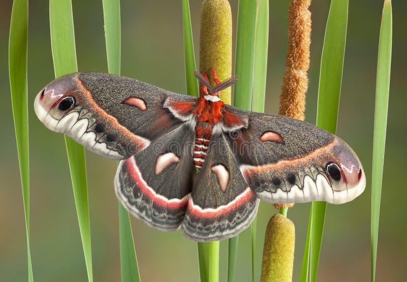 Lepidottero di Cecropia sui cattails immagini stock libere da diritti