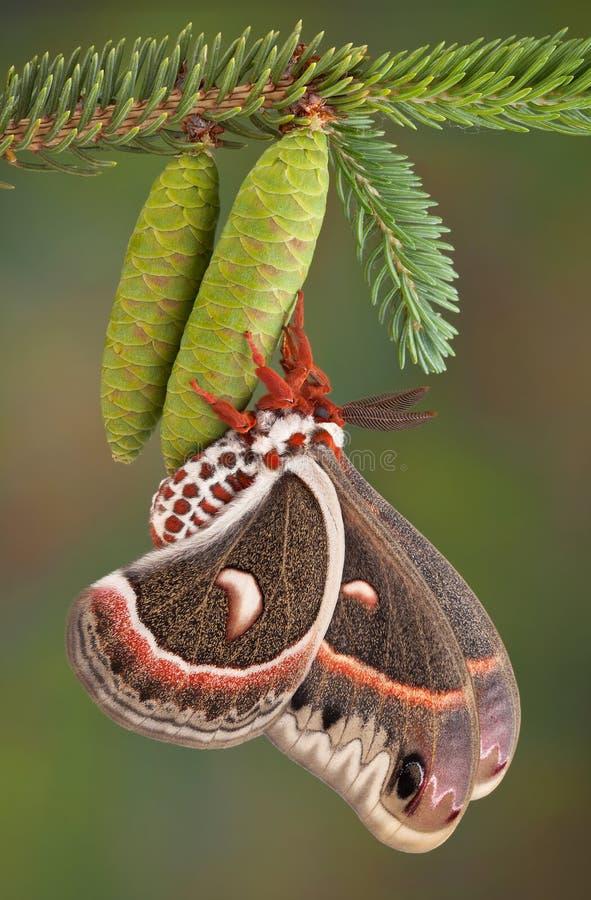 Lepidottero di Cecropia sul cono del pino fotografia stock