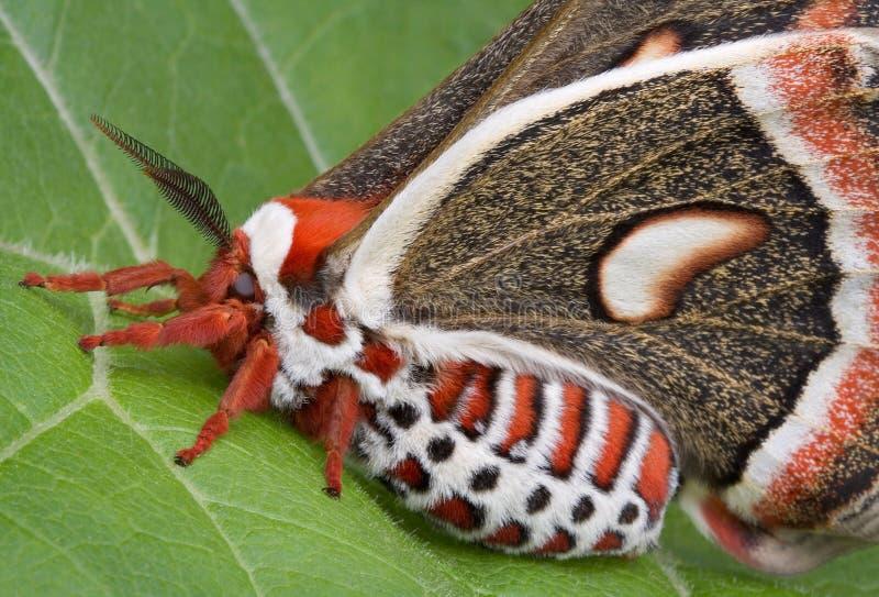 Lepidottero di Cecropia sul foglio immagine stock libera da diritti