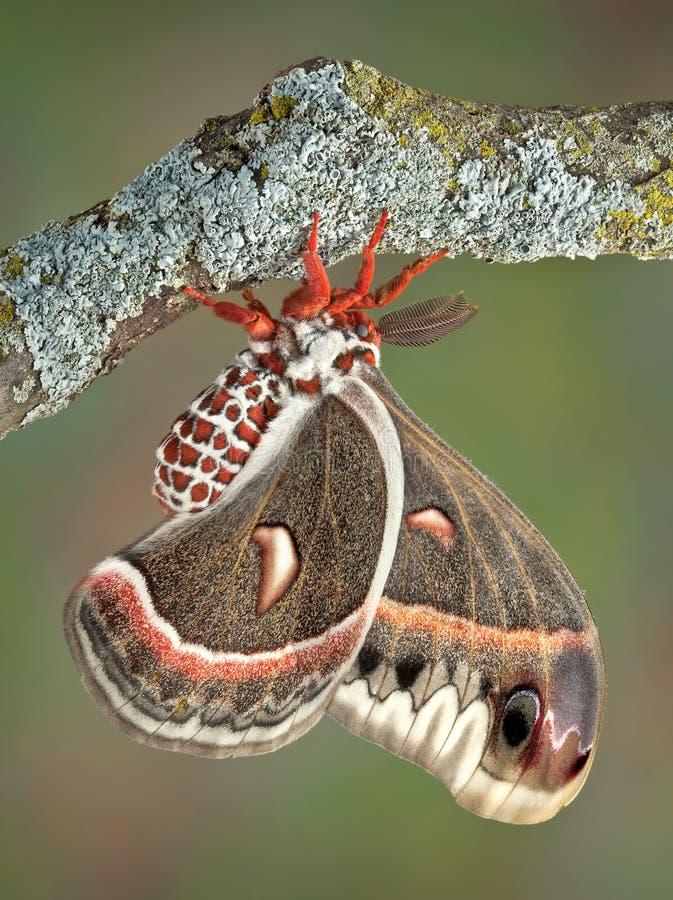 Lepidottero di Cecropia sulla filiale immagini stock