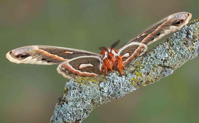 Lepidottero di Cecropia sulla filiale fotografie stock libere da diritti