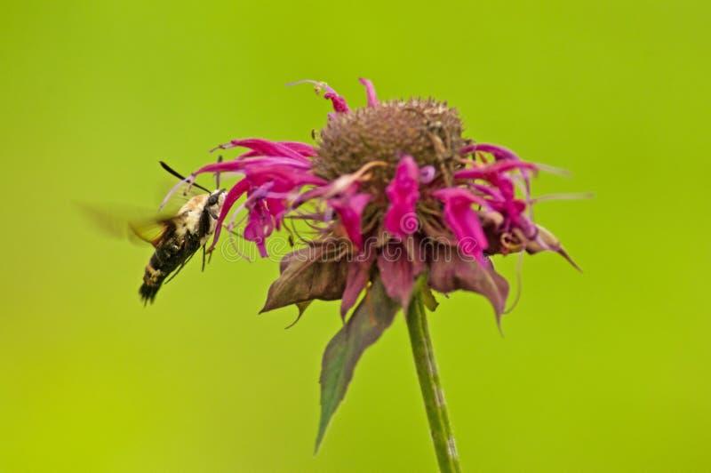 Lepidottero di colibrì che si alimenta i fiori del Ape-balsamo. immagine stock libera da diritti