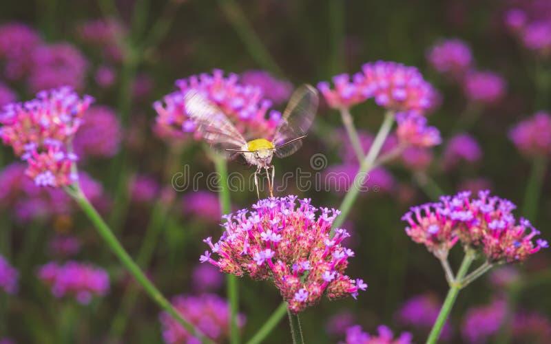Lepidottero di falco dell'uccello di ronzio fotografie stock