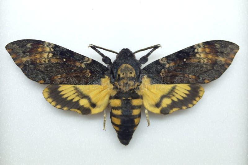Lepidottero di falco della testa della morte immagine stock libera da diritti