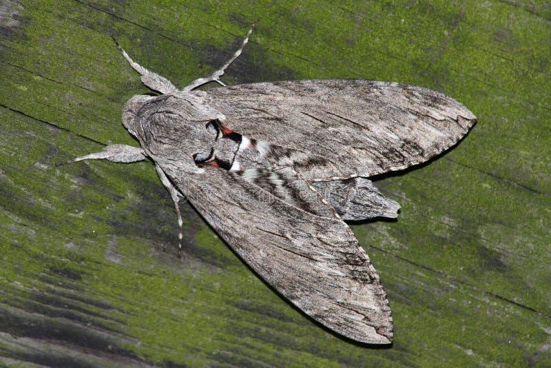 Lepidottero di falco di notte (convolvuli dello Sphinx) immagine stock