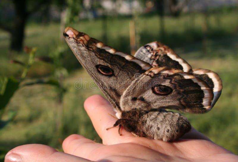 Lepidottero di imperatore viennese sulla palma immagini stock libere da diritti