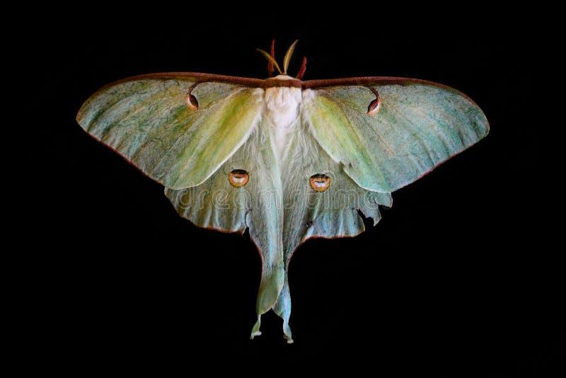 Lepidottero di Luna del Actias su fondo nero fotografia stock libera da diritti