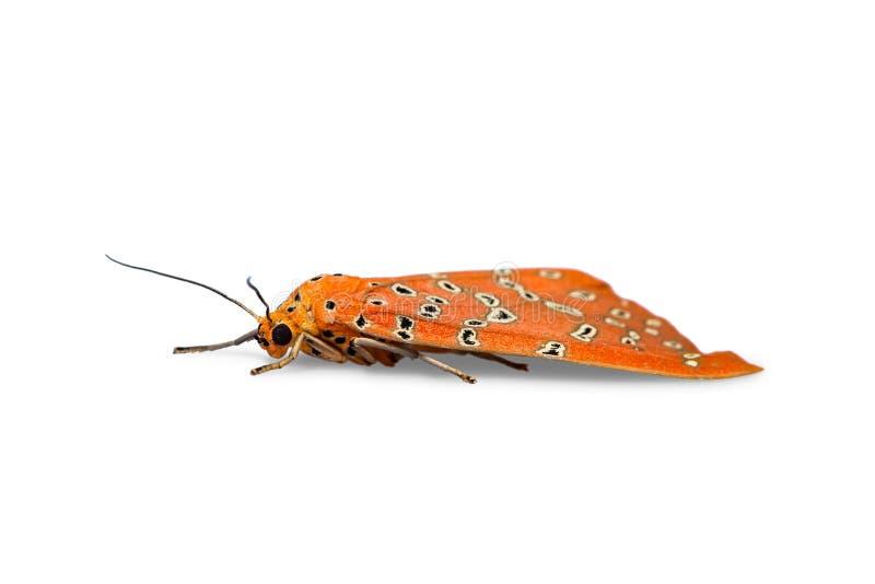 Lepidottero di Podborer Mangina Argus di Crotalaria fotografia stock libera da diritti