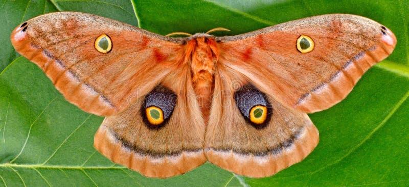 Lepidottero di Polyphemus immagine stock