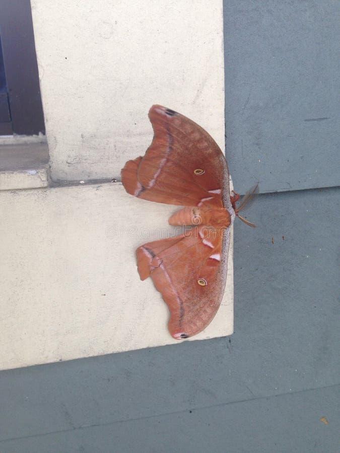 Lepidottero di Polyphemus immagini stock libere da diritti