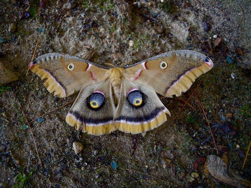 Lepidottero di seta gigante femminile immagini stock