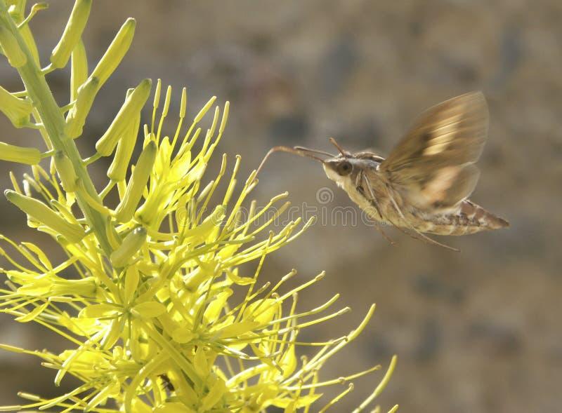 Lepidottero di Sphynx immagini stock libere da diritti