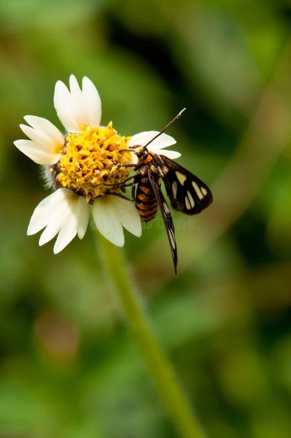 Lepidottero di tigre e margherita selvatica immagini stock libere da diritti