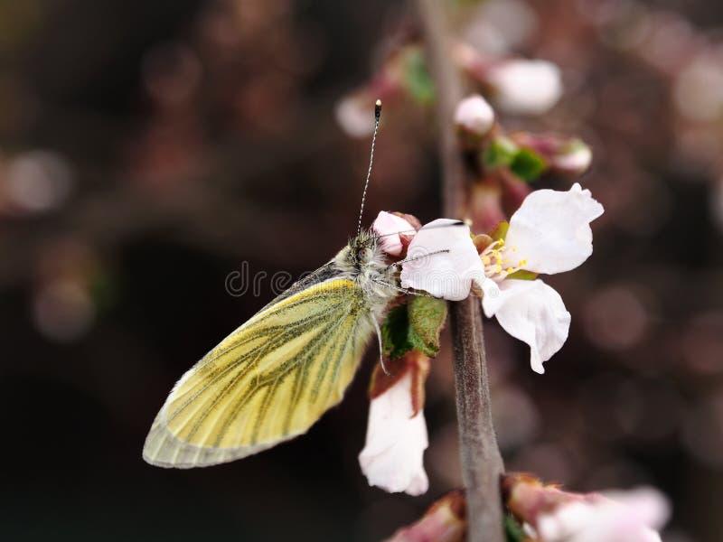 Lepidottero e Nanchino Cherry Flower immagini stock